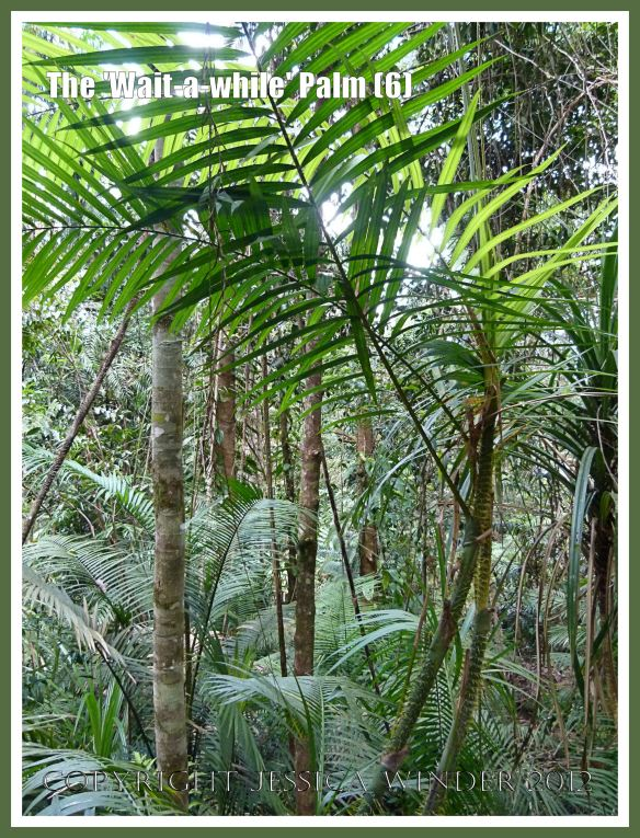 The 'Wait-a-while' Palm (5) This image taken adjacent to the boardwalk at Red Peak Skyrail Station in the Barron Gorge National Park, Queensland, Australia, shows a greater than normal level of undergrowth because cyclone damage has opened up clearings in what is normally a closed-canopy rainforest.