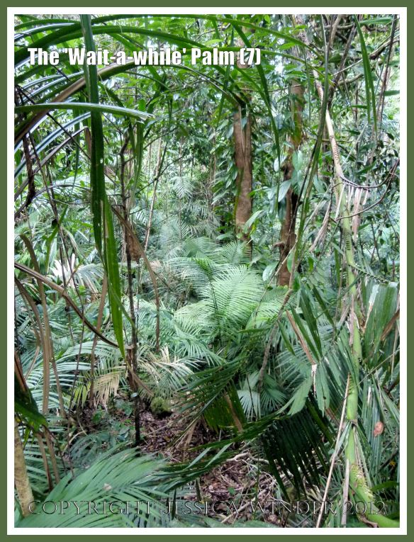 The 'Wait-a-while' Palm (7) This image taken adjacent to the boardwalk at Red Peak Skyrail Station in the Barron Gorge National Park, Queensland, Australia, shows a denser than expected level of undergrowth because cyclone damage has opened up clearings in what is normally a closed-canopy rainforest.