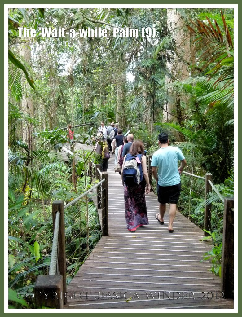 The 'Wait-a-while' Palm (9) - Visitors on the boardwalk at Red Peak Skyrail Station in The Barron Gorge National Park, getting up as close as it is safe to do without damaging themselves (on the thorns of  'Wait-a-while' Palm for example) and without impacting  on the rainforest eco-system. Queensland, Australia.