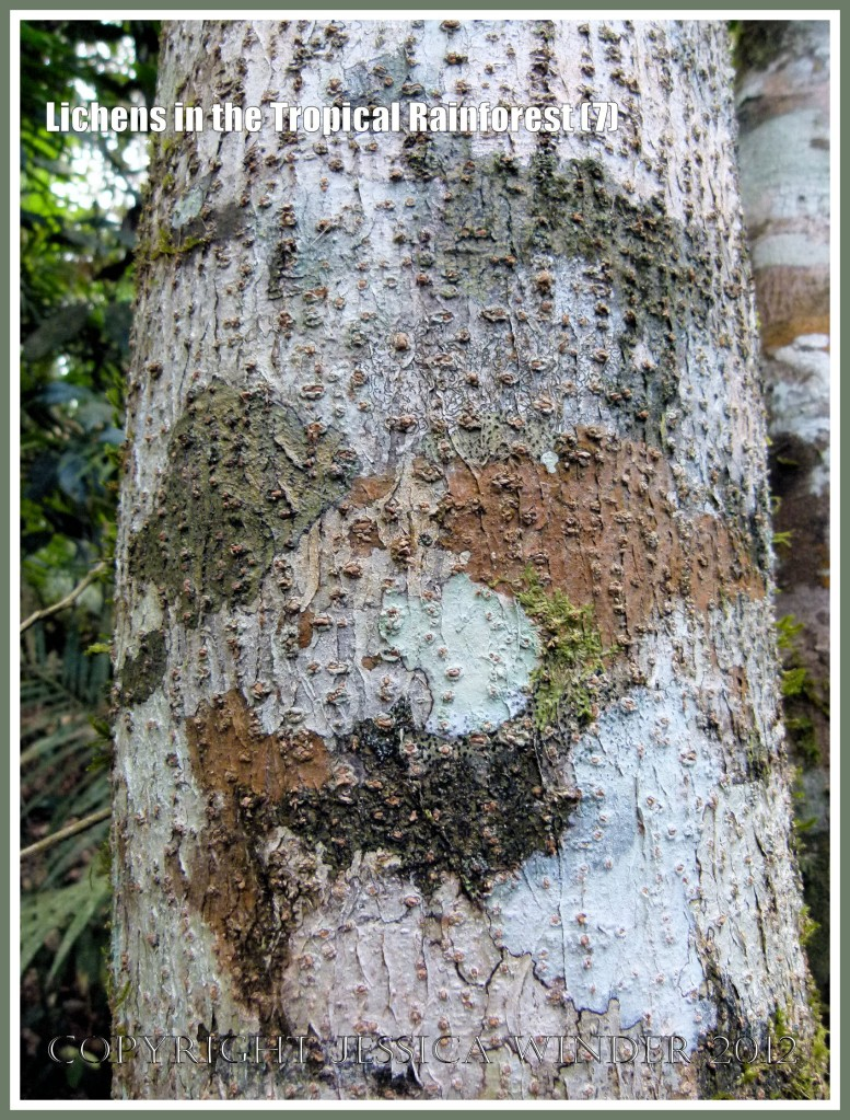 Lichens in the Tropical Rainforest (7) - The natural pattern made by lichens of different colours and species on a tree trunk in the tropical rainforest of Queensland, Australia.