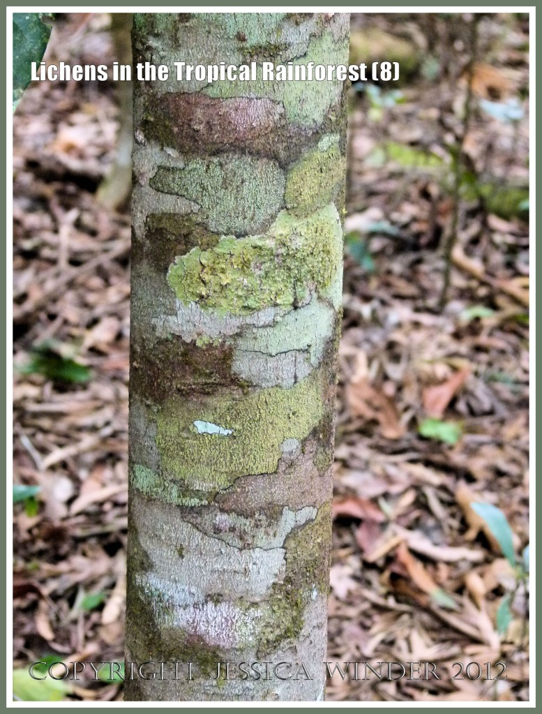 Lichens in the Tropical Rainforest (8) - The natural pattern made by lichens of different colours and species on a tree trunk in the tropical rainforest of Queensland, Australia.