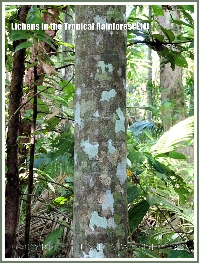 Lichens in the Tropical Rainforest (11) - The natural pattern made by lichens of different colours and species on a tree trunk in the tropical rainforest of Queensland, Australia.