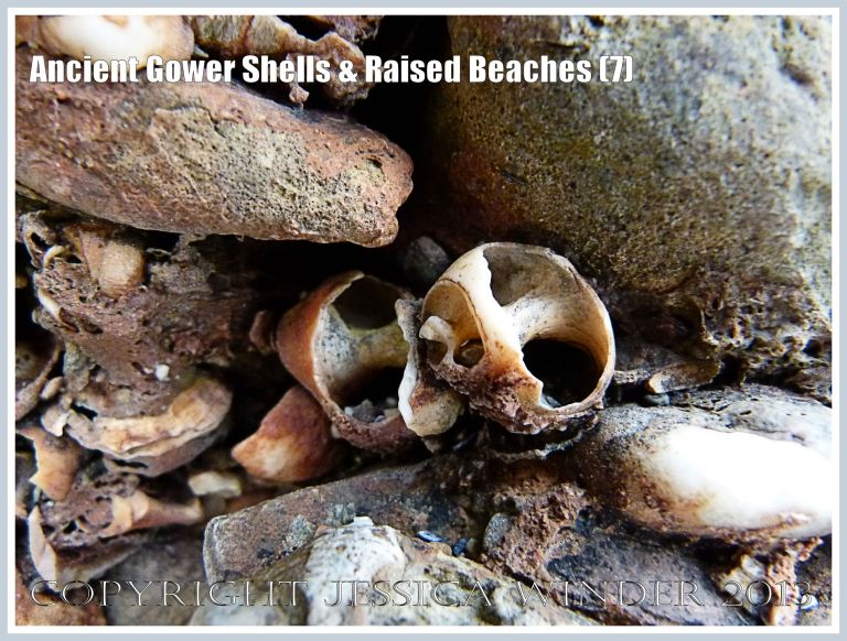 Ancient Gower Shells & Raised Beaches (7) - Winkle shells (Littorina spp.) from 125,000 to 130,000 years ago, in raised beach deposits dating from the Ipswichian Interglacial Period, near Worms Head Causeway, Rhossili Bay, Gower, South Wales.