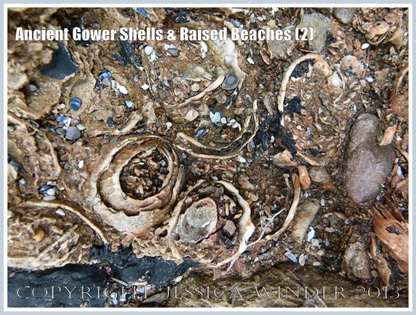 Ancient Gower Shells & Raised Beaches (2) - Limpet shells from 125,000 to 130,000 years ago, in raised beach deposits dating from the Ipswichian Interglacial Period, near Worms Head Causeway, Rhossili Bay, Gower, South Wales.
