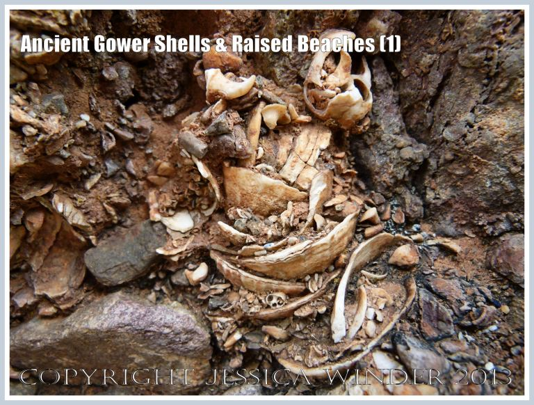 Ancient Gower Shells & Raised Beaches (1) - Limpet shells from 125,000 to 130,000 years ago, in raised beach deposits dating from the Ipswichian Interglacial Period, near Worms Head Causeway, Rhossili Bay, Gower, South Wales.
