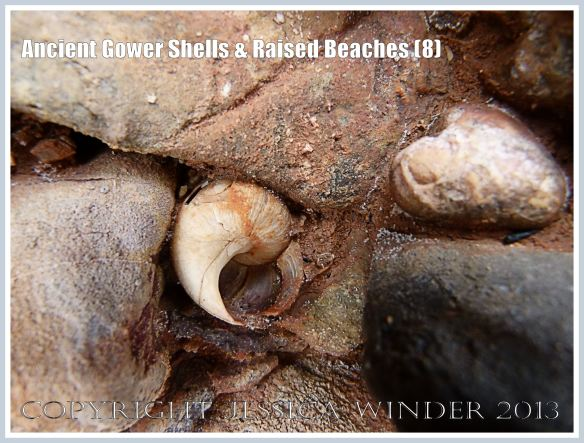 Ancient Gower Shells & Raised Beaches (8) - Winkle shell (Littorina spp.) from 125,000 to 130,000 years ago, in raised beach deposits dating from the Ipswichian Interglacial Period, near Worms Head Causeway, Rhossili Bay, Gower, South Wales.