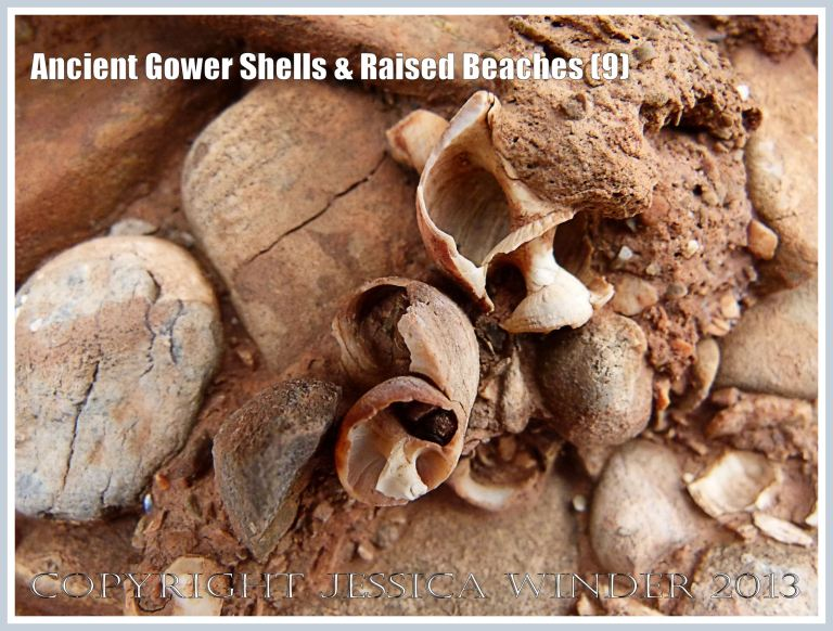 Ancient Gower Shells & Raised Beaches (9) - Winkle shells (Littorina spp.) from 125,000 to 130,000 years ago, in raised beach deposits dating from the Ipswichian Interglacial Period, near Worms Head Causeway, Rhossili Bay, Gower, South Wales.