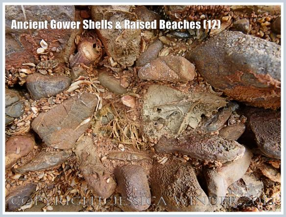 Ancient Gower Shells & Raised Beaches (12) - Shells and pebbles in a raised beach naturally cemented together by rusty-coloured calicite cement. Dating from the Ipswichian Interglacial Period 125,000 to 130,000 years ago. Photographed on the tip of the Rhossili Headland where it drops down to the Worms Head Causeway, Gower, South Wales.