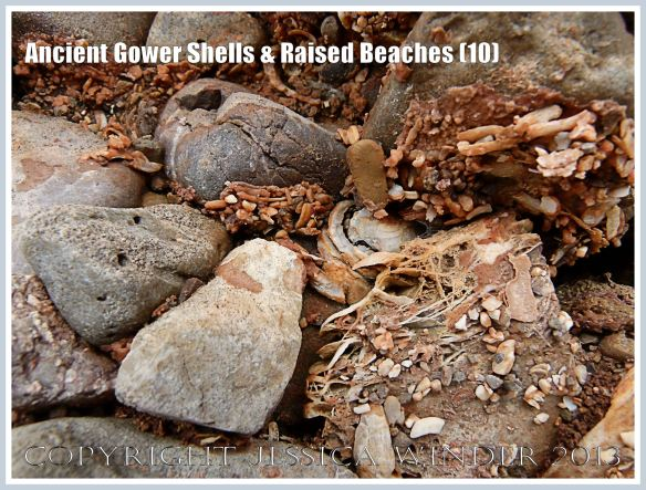 Ancient Gower Shells & Raised Beaches (10) - Shell fragments from 125,000 to 130,000 years ago, embedded in an iron-stained calcite cement (seen here as a network of crystalline strands), in raised beach deposits dating from the Ipswichian Interglacial Period, near Worms Head Causeway, Rhossili Bay, Gower, South Wales.