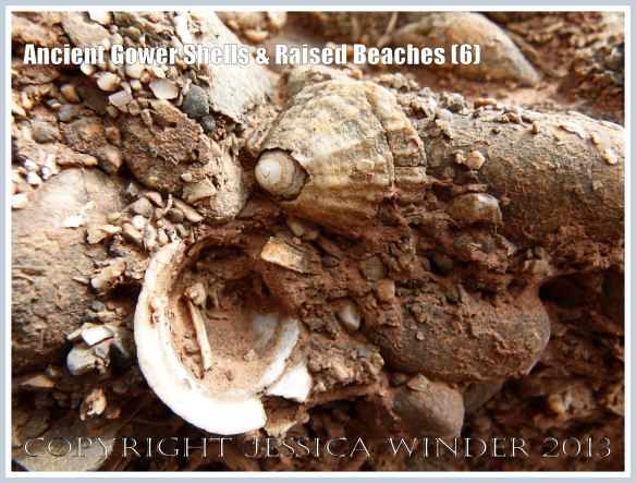 Ancient Gower Shells & Raised Beaches (6) - Limpet shells from 125,000 to 130,000 years ago, in raised beach deposits dating from the Ipswichian Interglacial Period, near Worms Head Causeway, Rhossili Bay, Gower, South Wales.