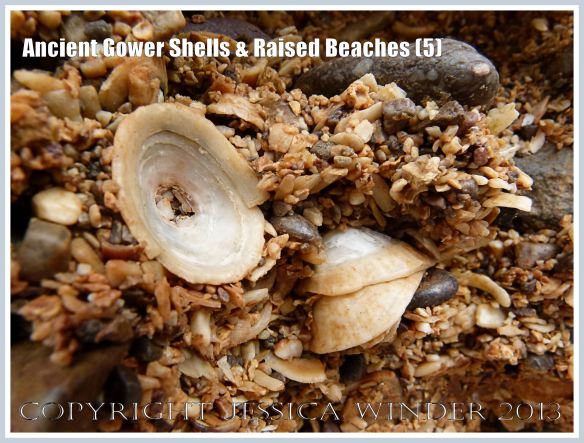 Ancient Gower Shells & Raised Beaches (5) - Limpet shells from 125,000 to 130,000 years ago, in raised beach deposits dating from the Ipswichian Interglacial Period, near Worms Head Causeway, Rhossili Bay, Gower, South Wales.