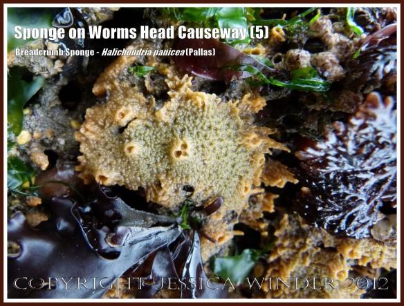 Breadcrumb Sponge on Worms Head Causeway (5) - Halichondria panicea (Pallas) on low-tide rocks of Worms Head Causeway, Rhossili, Gower, South Wales, July 2012.