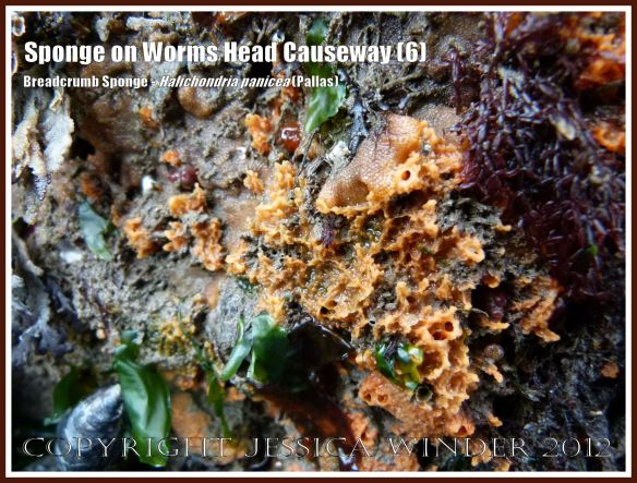 Breadcrumb Sponge on Worms Head Causeway (6) - Halichondria panicea (Pallas) on low-tide rocks of Worms Head Causeway, Rhossili, Gower, South Wales, July 2012.