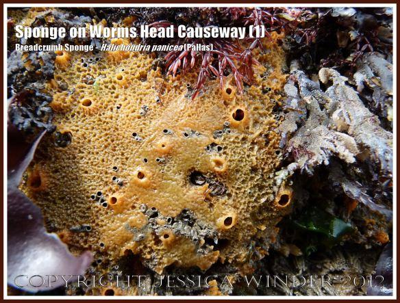 Breadcrumb Sponge on Worms Head Causeway (1) - Halichondria panicea (Pallas) on low-tide rocks of Worms Head Causeway, Rhossili, Gower, South Wales, July 2012.