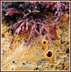 Lomentaria articulata (Hudson) Lyngbye - Fronds of the red Lomentaria alga resting on orange Breadcrumb Sponge.