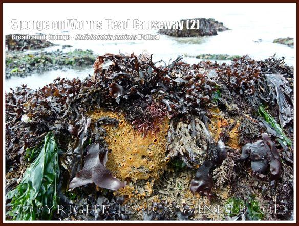 Breadcrumb Sponge on Worms Head Causeway (2) - Halichondria panicea (Pallas) with seaweeds on low-tide rocks of Worms Head Causeway, Rhossili, Gower, South Wales, July 2012.