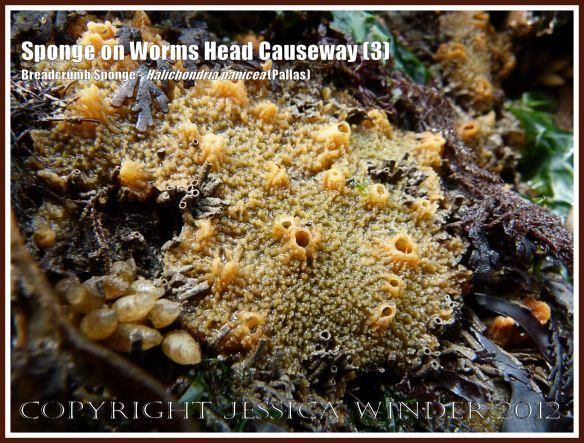 Breadcrumb Sponge on Worms Head Causeway (3) - Halichondria panicea (Pallas) on low-tide rocks of Worms Head Causeway, Rhossili, Gower, South Wales, July 2012.