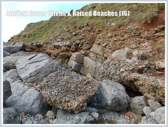 Ancient Gower Shells & Raised Beaches (16) - Layer of ancient raised beach deposits with pebbles and marine shells, formed during an interglacial period 125,000 to 130,000 years ago, forming a carpeting layer cemented to wave-cut bed-rock. A chunk of the deposit has become detached.  Vertical section of raised beach deposits, solifluction debris, and red soil derived from Old Red Devonian sandstone seen in background. Photographed on the landward (Rhossili) edge of the upper shore of the Worms Head Causeway, Gower, South Wales.