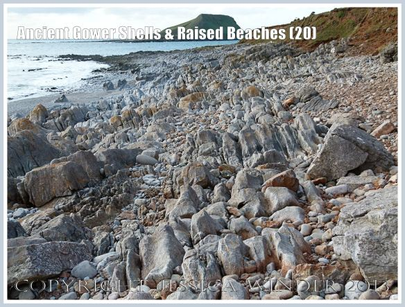 Ancient Gower Shells & Raised Beaches (20) - The jagged rows of Carboniferous Limestone, jutting up from the upper shore of the Worms Head Causeway near the Rhossili Headland, would all at one time have been overlain by ancient raised beach deposits with pebbles and shells. These have been mostly eroded away by wave action. At the present time, remnants of these old beach layers still remain at the top of the shore.