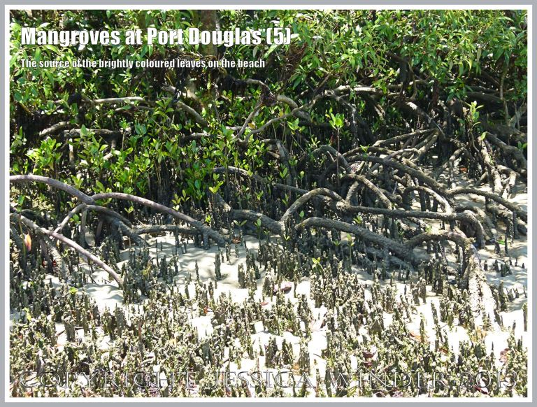Mangroves at Port Douglas (5) - Mangrove trees in leaf and showing tangled root systems, and aerial roots covered with filamentous green algae. These trees on the beach are the source of the brightly coloured dead leaves in the sea and on the strand-line at Port Douglas, Queensland, Australia.