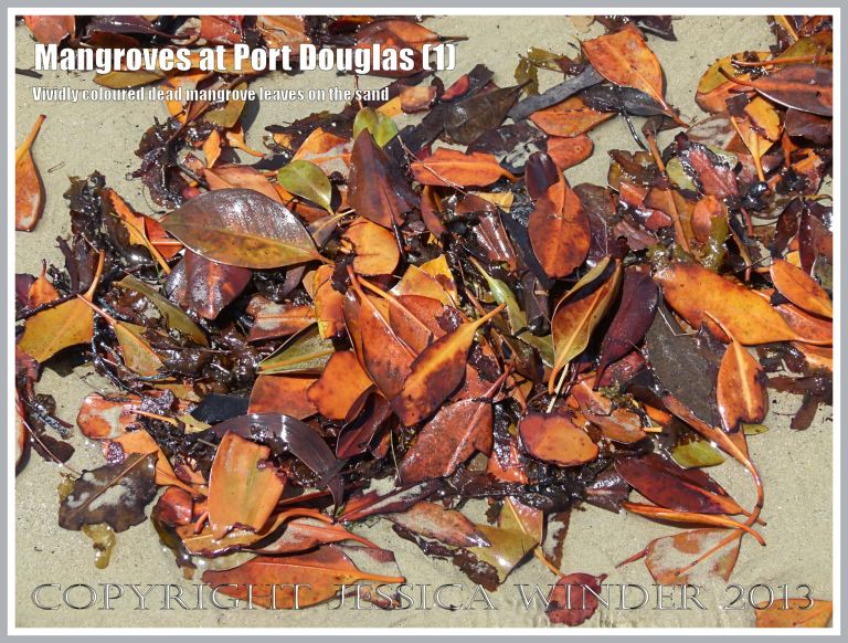 Mangroves at Port Douglas (1) - Brightly coloured dead mangrove leaves on the sand - they fall throughout the year from the mangrove trees living on the edge of the beach at Port Douglas, Queensland, Australia.