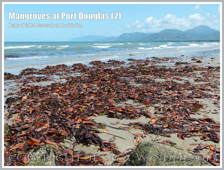 Mangroves at Port Douglas (2) - Brightly coloured heaps of dead mangrove leaves on the sandy strand-line - they fall throughout the year from the mangrove trees living on the edge of the beach at Port Douglas, Queensland, Australia.