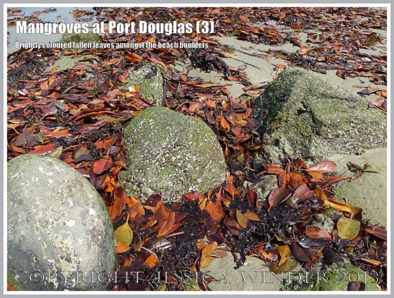 Mangroves at Port Douglas (3) - Brightly coloured heaps of dead mangrove leaves amongst boulders on the beach - the leaves fall throughout the year from the mangrove trees living on the edge of the sandy shore at Port Douglas, Queensland, Australia.