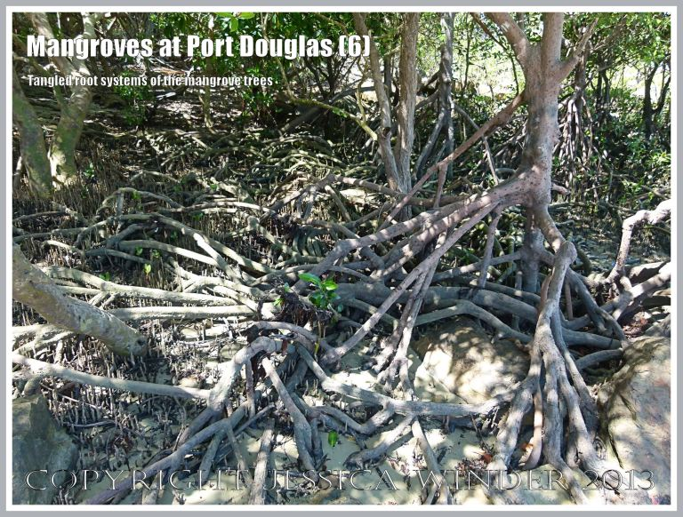 Mangroves at Port Douglas (6) - The tangled root systems above ground belonging to the mangrove trees on the beach at Port Douglas, Queensland, Australia.