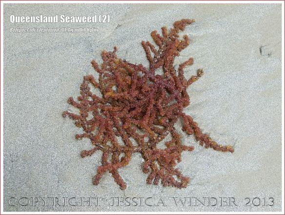 Queensland Seaweed (2) Botryocladia leptopoda - Grape Weed [Botryocladia leptopoda (J. Agardh) Kylin] washed ashore on sandy Cape Tribulation beach, North Queensland Coast, Australia.
