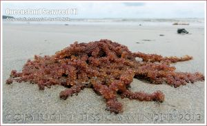 Queensland Seaweed (1) Botryocladia leptopoda - Grape Weed [Botryocladia leptopoda (J. Agardh) Kylin] washed ashore on sandy Cape Tribulation beach, North Queensland Coast, Australia.