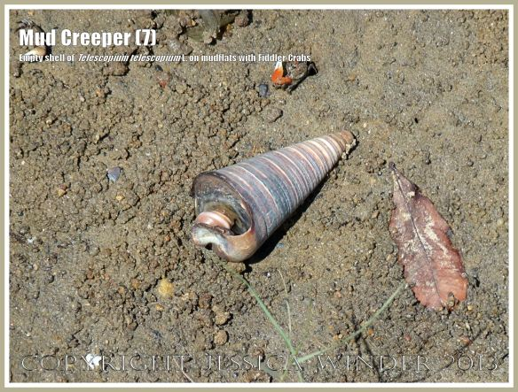 Mud Creepers (7) -  Empty shell of Telescopium telescopium L. on the beach at Cairns, Queensland, Australia, with fiddler crabs.