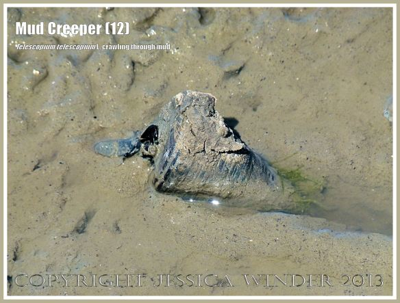 Mud Creepers (12) - Living specimen of Telescopium telescopium L., the Mangrove Mud Whelk, crawling through the glutinous mud at low tide, its heavy shell making a furrow behind it as it is dragged along, Cairns, Queensland, Australia.