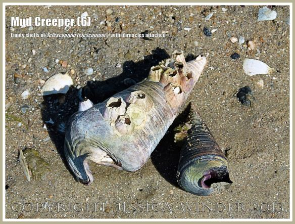 Mud Creepers (6) -  Empty shells of Telescopium telescopium L., Mud Whelk, on the shore at Cairns, Queensland, Australia. One shell has barnacles attached.