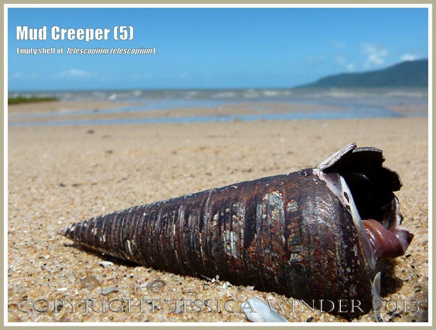 Mud Creepers (5) - Empty shell of Telescopium telescopium L., Mud Whelk, on the shore at Cairns, Queensland, Australia.