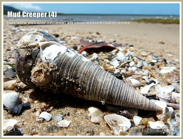 Mud Creepers (4) -  Empty shell of Telescopium telescopium L., Mud Whelk, on the shore at Cairns, Queensland, Australia, with remains of an oyster shell and barnacles attached.