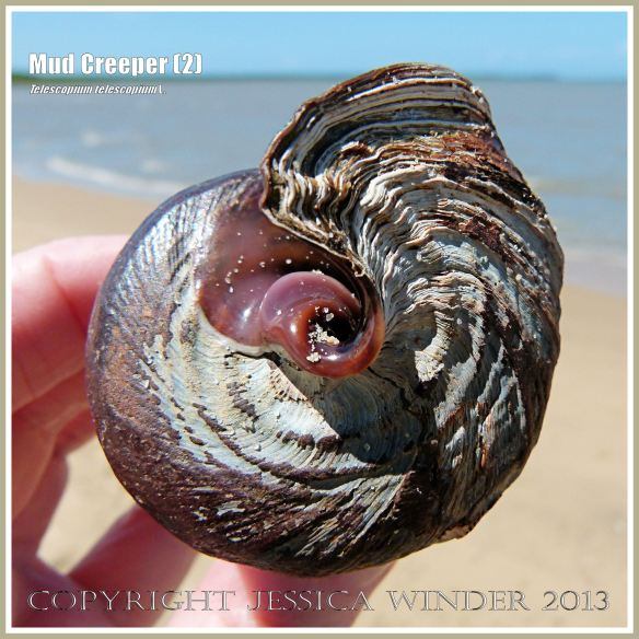 Mud Creepers (2) - Empty shell of the Mud Whelk or Mud Creeper, Telescopium telescopium L held to show the apertural end at Cairns, Queensland, Australia.