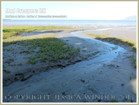 Mud Creepers (9) - The tidal mudflats at cairns, Queensland, Australia - habitat of Telescopium telescopium L., the Mud Creeper, Mud Whelk, Telescopic Creeper, or Mangrove Mud Whelk.