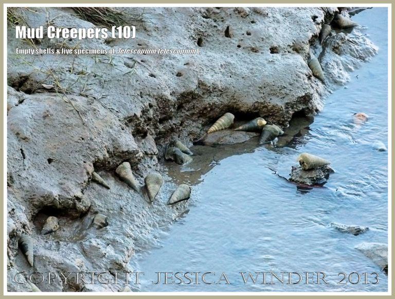 Mud Creepers (10) - The tidal mudflats at Cairns, Queensland, Australia - habitat of Telescopium telescopium L., the Mud Creeper, Mud Whelk, Telescopic Creeper, or Mangrove Mud Whelk.