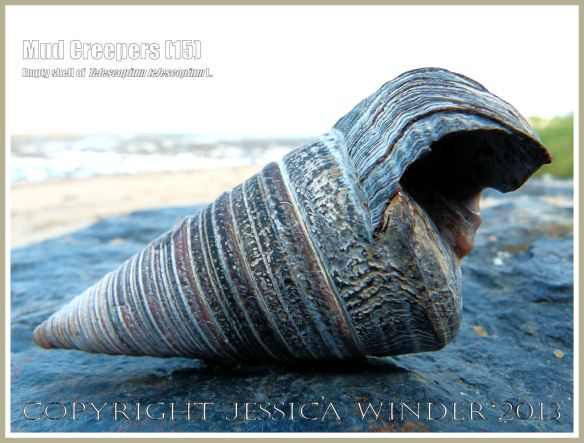 Mud Creepers (15) - Empty shell of Telescopium telescopium L. on the beach at Cairns, Queensland, Australia.