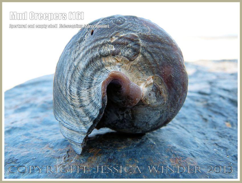 Mud Creepers (16) - Empty shell of Telescopium telescopium L. on the beach at Cairns, Queensland, Australia.