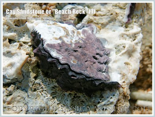 """Cay Sandstone or """"Beach Rock"""" (7) - Close-up of a Rock Oyster living on a slab of """"Beach Rock"""" or Cay Sandstone comprised of coral fragments and empty shells cemented together. Normanby Island, one of the Frankland Island group, Queensland, Australia."""