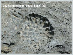 "Cay Sandstone or ""Beach Rock"" (12) - Recently formed ""Beach Rock"" with the impression of Beach Pandanus fruits, on Normanby Island shore, Queensland, Australia, part of the Frankland Islands."