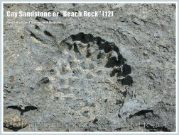 """Cay Sandstone or """"Beach Rock"""" (12) - Recently formed """"Beach Rock"""" with the impression of Beach Pandanus fruits, on Normanby Island shore, Queensland, Australia, part of the Frankland Islands."""