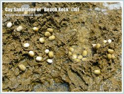 """Cay Sandstone or """"Beach Rock"""" (16) - Small Nerite gastropods in an eroded hollows in recently formed Cay Sandstone or """"Beach Rock"""" on Normanby Island, Queensland, Australia, part of the Frankland Islands group."""