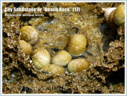 """Cay Sandstone or """"Beach Rock"""" (17) - Small Nerite gastropods in an eroded hollow recently formed Cay Sandstone or """"Beach Rock"""" on Normanby Island, Queensland, Australia, part of the Frankland Islands group."""