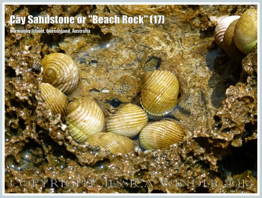 "Cay Sandstone or ""Beach Rock"" (17) - Small Nerite gastropods in an eroded hollow recently formed Cay Sandstone or ""Beach Rock"" on Normanby Island, Queensland, Australia, part of the Frankland Islands group."