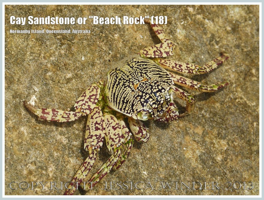 "Cay Sandstone or ""Beach Rock"" (18) - Small Small Tropical Rock Crab (Grapsus sp.) in a tide pool in recently formed Cay Sandstone or ""Beach Rock"" on Normanby Island, Queensland, Australia, part of the Frankland Islands group."