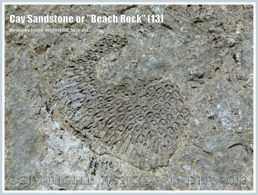 """Cay Sandstone or """"Beach Rock"""" (13) - Impression of a coral in recently formed Cay Sandstone or """"Beach Rock"""" on Normanby Island, Queensland, Australia, part of the Frankland Islands group."""
