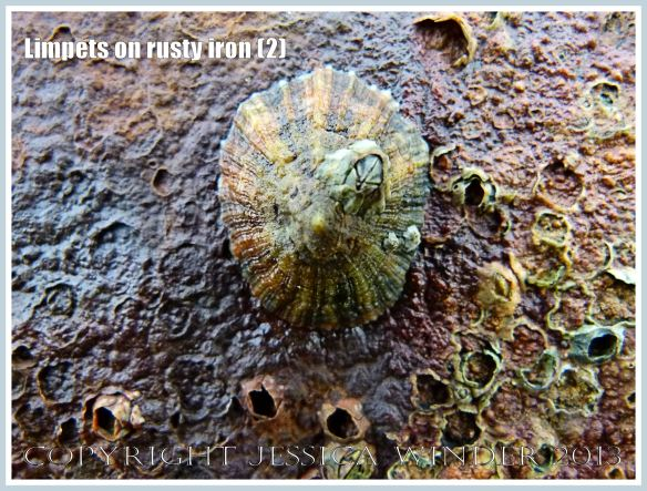 Limpets on rusty iron (2) -  Living limpet (Patella sp.) attached to highly coloured, patterned, and textured rusty iron seaside pier.