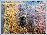 More barnacles on rusty iron (2) - Acorn or sessile barnacle living on an iron seaside pier corroded by sea water.